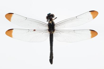 Arthropoda Hexapoda Insecta Ectognatha Pterygota Odonata Anisoptera LIBELLULOIDEA LIBELLULIDAE Cratilla metallica, AMNZ136488, © Auckland Museum CC BY