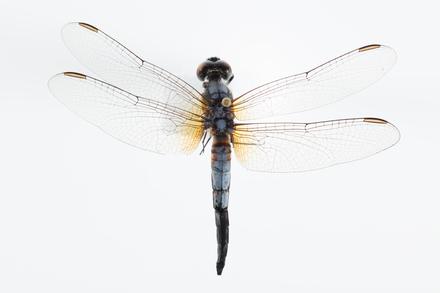 Arthropoda Hexapoda Insecta Ectognatha Pterygota Odonata Anisoptera LIBELLULOIDEA LIBELLULIDAE, AMNZ136490, © Auckland Museum CC BY