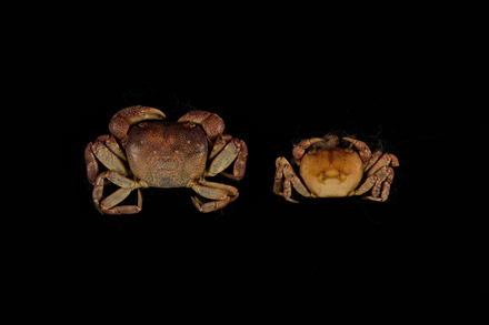 Cyclograpsus lavauxi, MA78851, © Auckland Museum CC BY