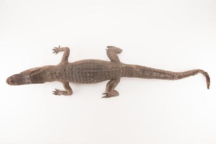 Alligator mississippiensis, LH634, © Auckland Museum CC BY