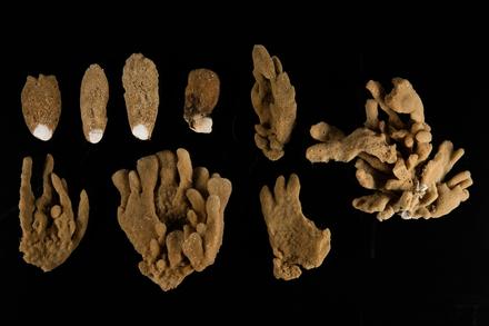Callyspongia, MA121323, © Auckland Museum CC BY, © Auckland Museum CC BY