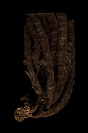 Iophon laevistylus, MA36081, © Auckland Museum CC BY, © Auckland Museum CC BY