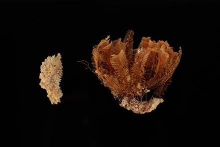 Porifera, MA656542, © Auckland Museum CC BY