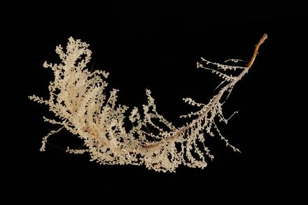 Cnidaria Hydrozoa, MA136908, © Auckland Museum CC BY