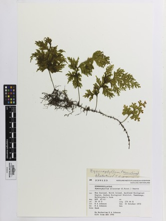 Hymenophyllum dilatatum, AK239125, N/A