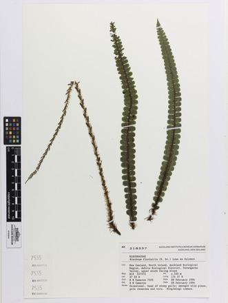 Blechnum fluviatile, AK218557, N/A