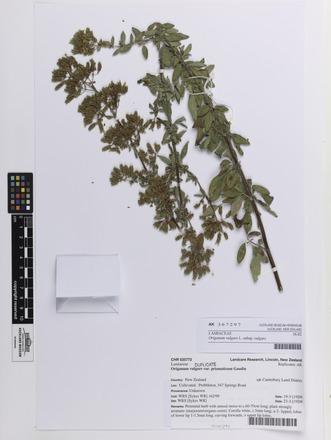 Origanum vulgare vulgare, AK367297, N/A