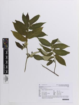Muntingia calabura, AK349317, N/A