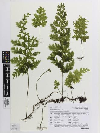 Hymenophyllum dilatatum, AK249932, N/A