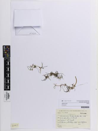 Lilaeopsis, AK367335, N/A