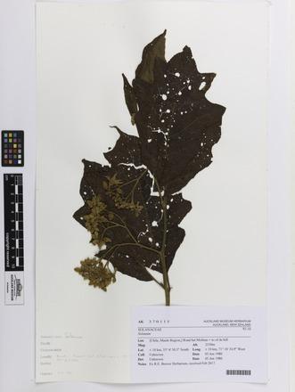 Solanum, AK370115, N/A