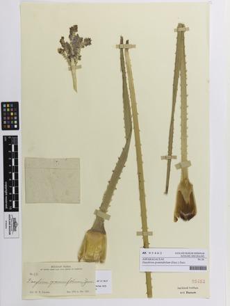 Dasylirion graminifolium, AK95462, N/A