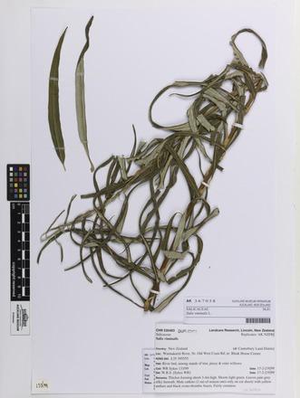 Salix viminalis, AK367058, © Auckland Museum CC BY