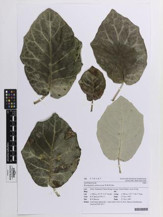 Brachyglottis arborescens, AK370167, N/A