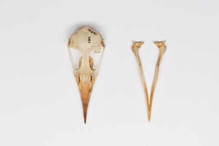 Cerorhinca monocerata, LB14651, © Auckland Museum CC BY