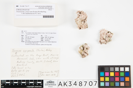 Titanoderma conspectum; AK348707; © Auckland Museum CC BY
