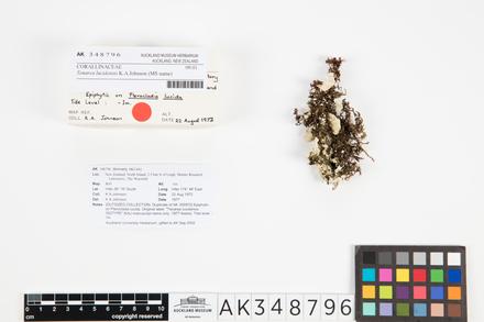 Tenarea lucidensis; AK348796; © Auckland Museum CC BY