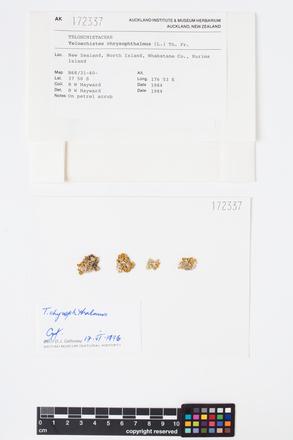 Teloschistes chrysophthalmus, AK172337, © Auckland Museum CC BY