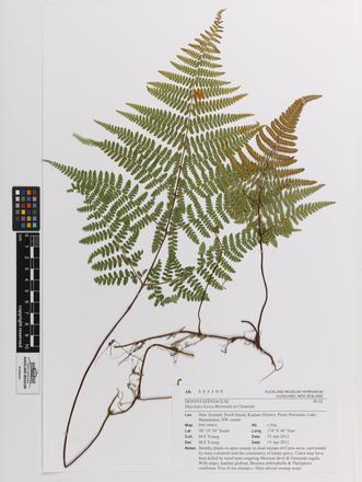 Hypolepis lactea, AK333195, © Auckland Museum CC BY