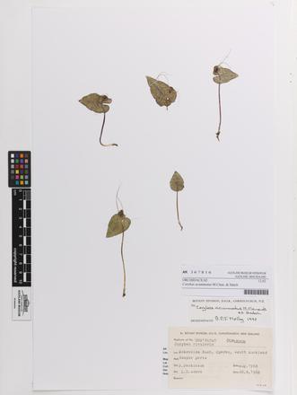 Corybas acuminatus, AK367816, © Auckland Museum CC BY