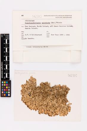 Pseudocyphellaria episticta, AK162393, © Auckland Museum CC BY