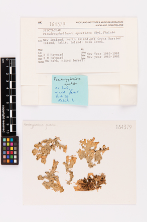 Pseudocyphellaria episticta, AK164379, © Auckland Museum CC BY