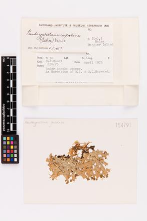 Pseudocyphellaria carpoloma, AK154791, © Auckland Museum CC BY