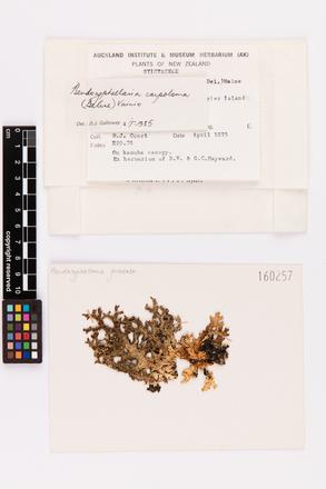 Pseudocyphellaria carpoloma, AK160257, © Auckland Museum CC BY