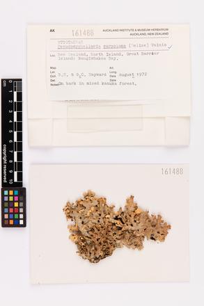 Pseudocyphellaria carpoloma, AK161488, © Auckland Museum CC BY