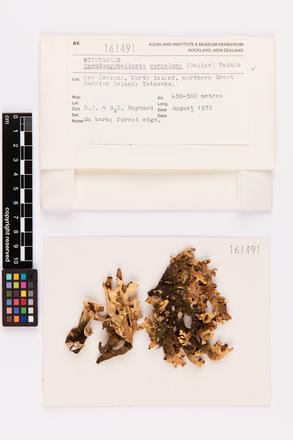 Pseudocyphellaria carpoloma, AK161491, © Auckland Museum CC BY