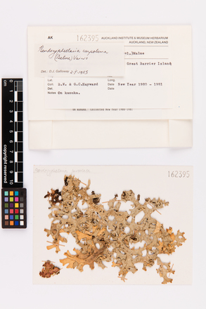 Pseudocyphellaria carpoloma, AK162395, © Auckland Museum CC BY