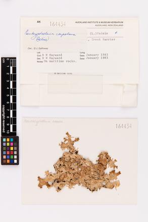 Pseudocyphellaria carpoloma, AK164434, © Auckland Museum CC BY