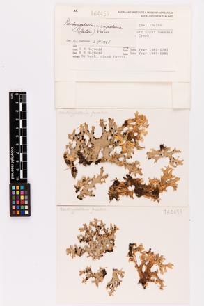Pseudocyphellaria carpoloma, AK164459, © Auckland Museum CC BY