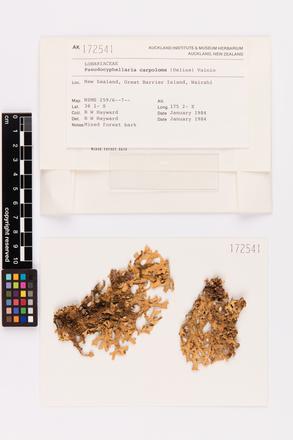 Pseudocyphellaria carpoloma, AK172541, © Auckland Museum CC BY