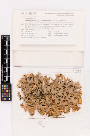 Pseudocyphellaria carpoloma, AK180299, © Auckland Museum CC BY