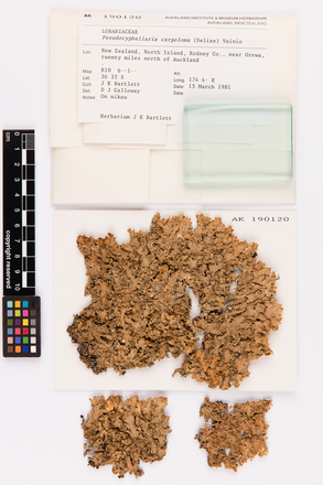 Pseudocyphellaria carpoloma, AK190120, © Auckland Museum CC BY