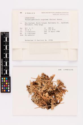 Pseudocyphellaria carpoloma, AK190121, © Auckland Museum CC BY