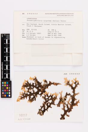 Pseudocyphellaria carpoloma, AK193552, © Auckland Museum CC BY