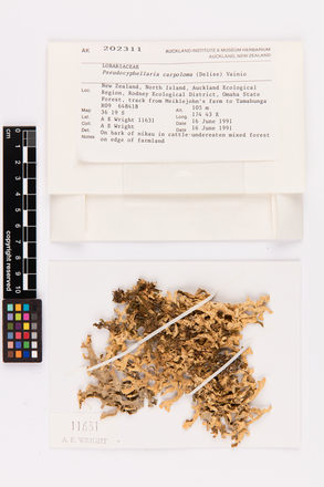 Pseudocyphellaria carpoloma, AK202311, © Auckland Museum CC BY