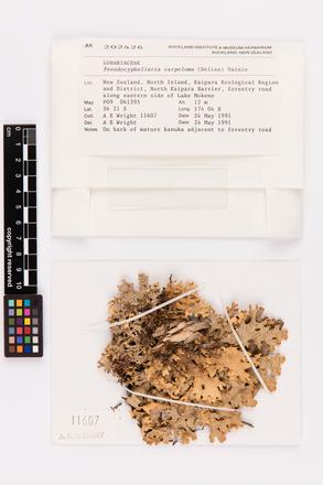 Pseudocyphellaria carpoloma, AK202426, © Auckland Museum CC BY