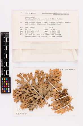 Pseudocyphellaria carpoloma, AK213449, © Auckland Museum CC BY