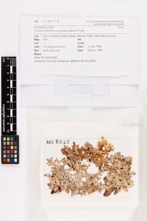 Pseudocyphellaria carpoloma, AK310178, © Auckland Museum CC BY