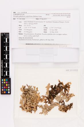Pseudocyphellaria carpoloma, AK311098, © Auckland Museum CC BY