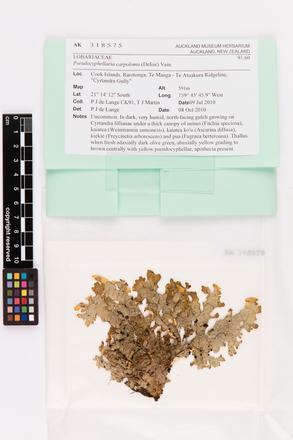 Pseudocyphellaria carpoloma, AK318575, © Auckland Museum CC BY