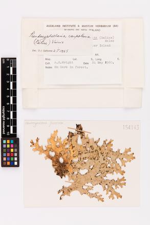 Pseudocyphellaria carpoloma, AK154143, © Auckland Museum CC BY