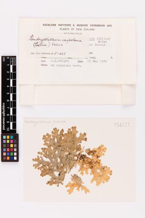 Pseudocyphellaria carpoloma, AK154177, © Auckland Museum CC BY