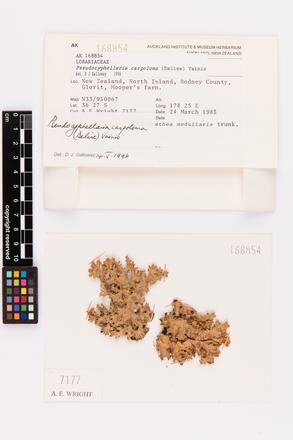Pseudocyphellaria carpoloma, AK168854, © Auckland Museum CC BY