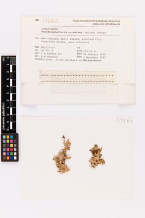 Pseudocyphellaria carpoloma, AK172665, © Auckland Museum CC BY