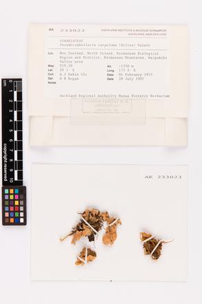 Pseudocyphellaria carpoloma, AK233023, © Auckland Museum CC BY