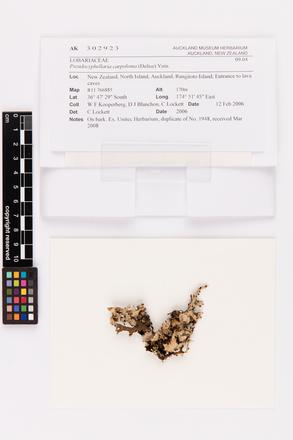Pseudocyphellaria carpoloma, AK302923, © Auckland Museum CC BY
